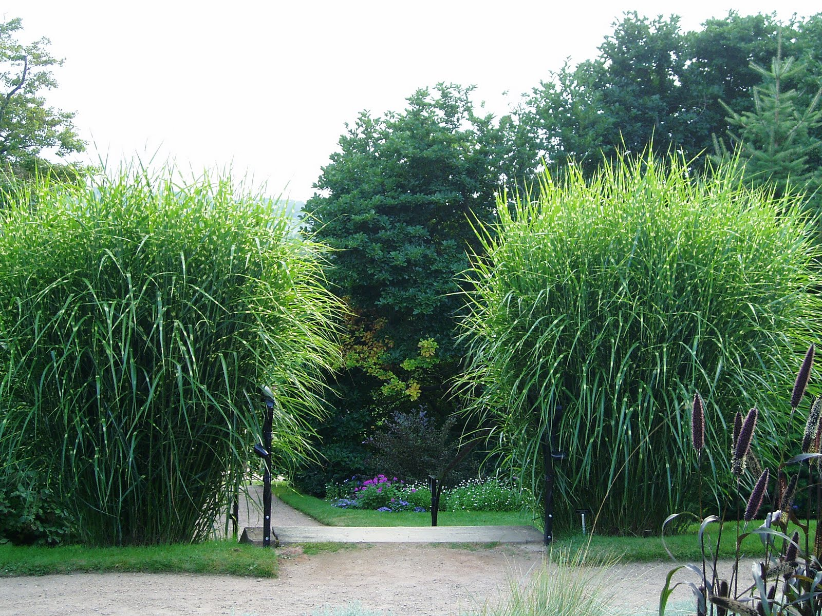 Lovegrass farm miscanthus sinensis 39 zebrinus 39 ornamental for Tall grass garden