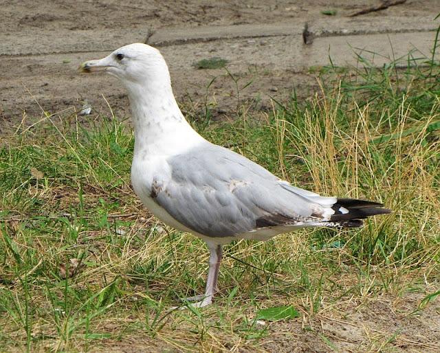 Mewa (Laridae)