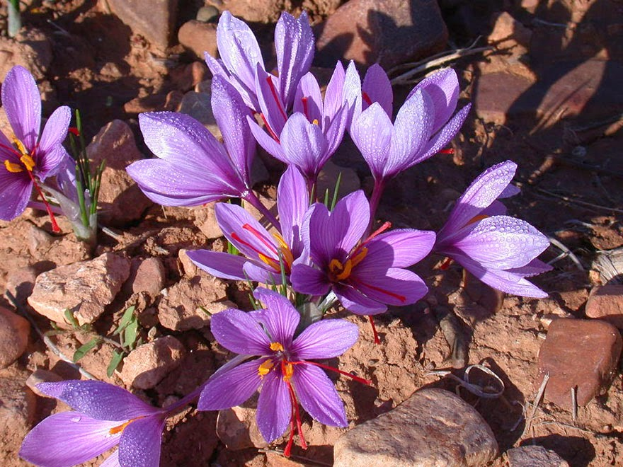 Do You Know What Your Favorite Foods Look Like While Growing - Saffron (the most expensive spice in the world).