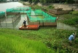 Teranak ikan gabus, budidaya ikan gabus, ternak ikan gabus sistem sekat, cara ternak ikan gabus