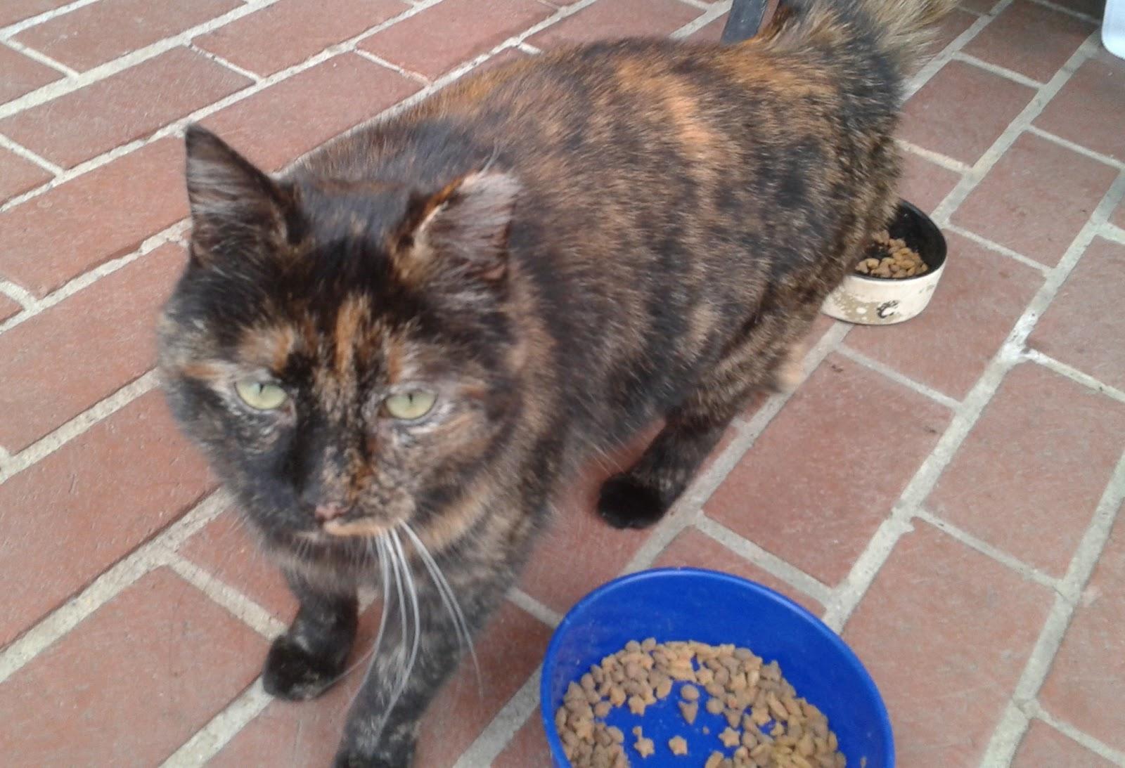 Brindle Cats Black Orange