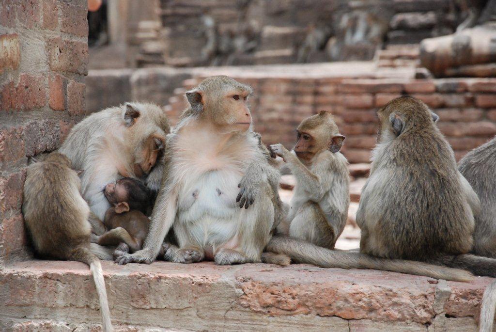 waar komen apen voor