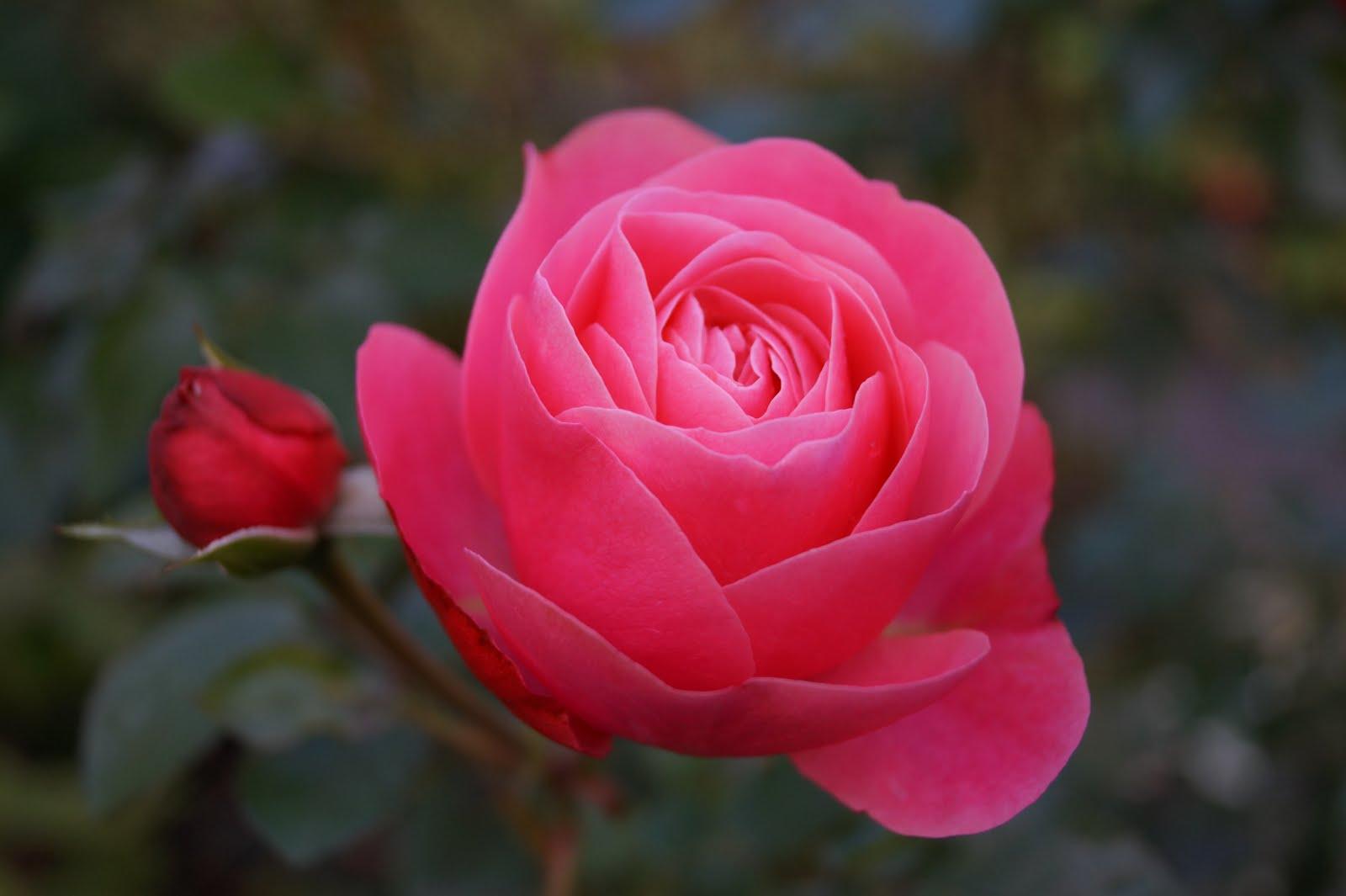 Rosa Leonard de Vinci