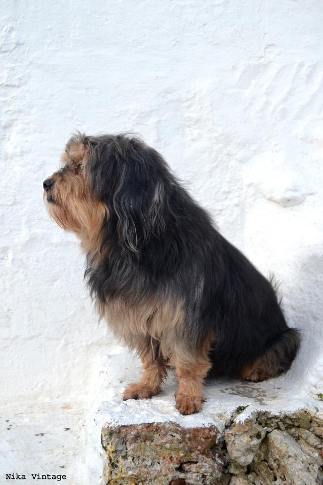 perros, mascotas, perro, lasa apso, perro tibetano, hoy compartimos, inicitiva blogger
