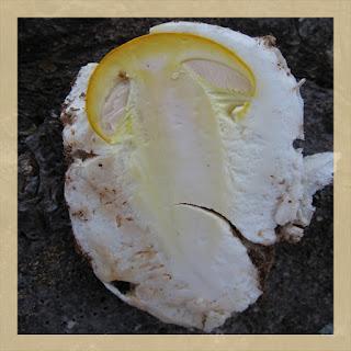 volve de champignon
