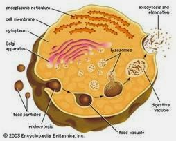 Organel-Organel Sel Lisosom