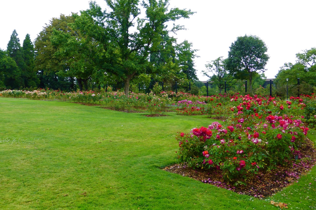 Owen rose garden under the plum blossom tree - Rose cultivars garden ...