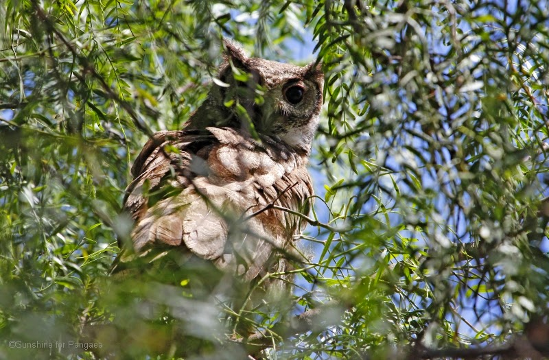 Greyish Eagle-Owl or Vermiculated Eagle-Owl (Bubo cinerascens) in Northern Ethiopia