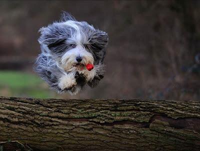 Perro pequeño saltando el arbol caído