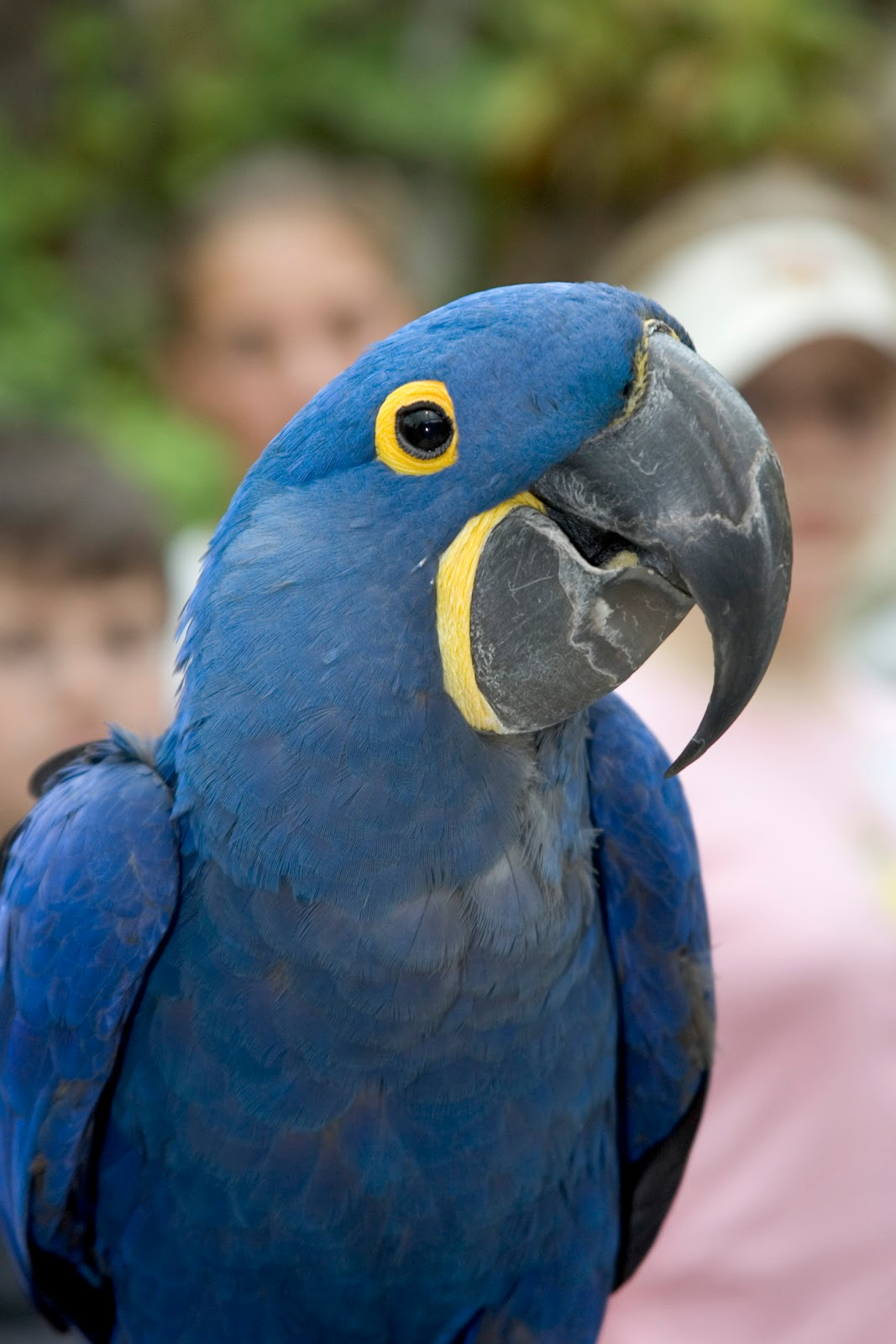 Flying Animal: Hyacinth Macaw - 195.0KB