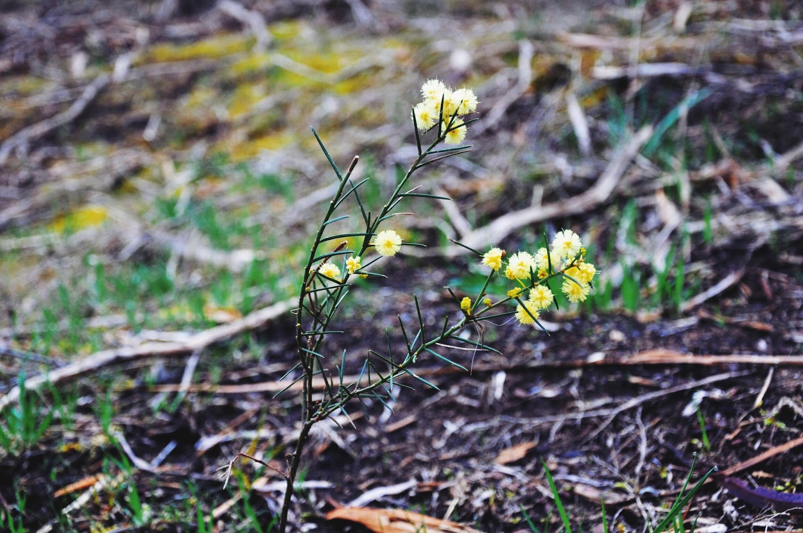 hiking outdoors nature plants wattle