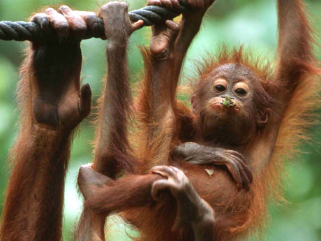 FORINA Gandeng Swasta Melestarikan Orangutan