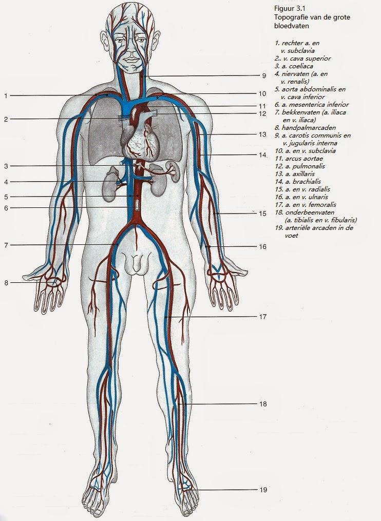 Het circulatiestelsel: De Bloedvaten