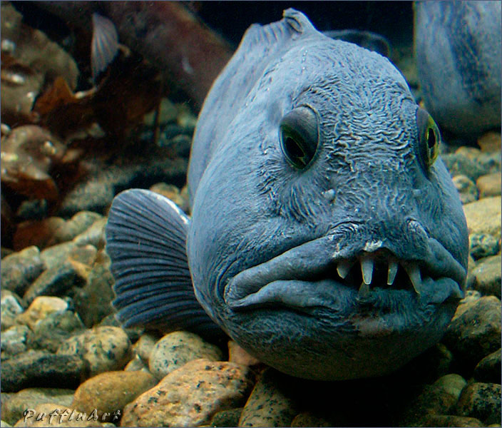 The most ugly fishes in the world photographs only for Freshwater wolf fish