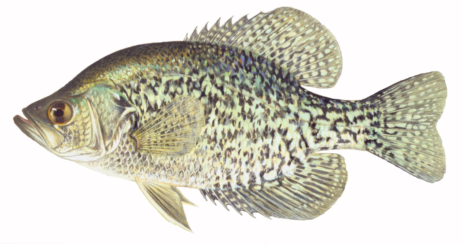 Take it outside fish iowa test your fish id skills for What is a crappie fish