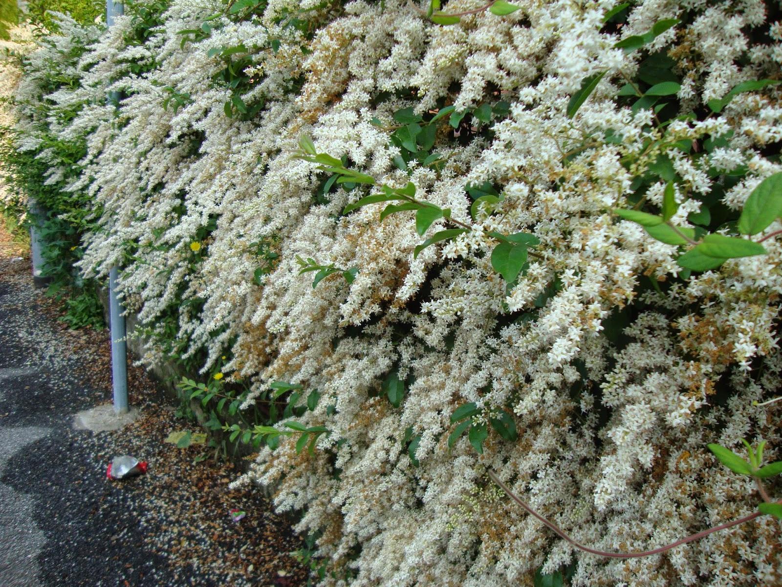 Ligustro foto diario di una giardiniera curiosa for Sempreverde con fiori bianchi e profumati