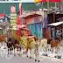 கல்முனை மாநகரம் கட்டாக்காலிகளின் நகரமாக மாறிவிட்டது