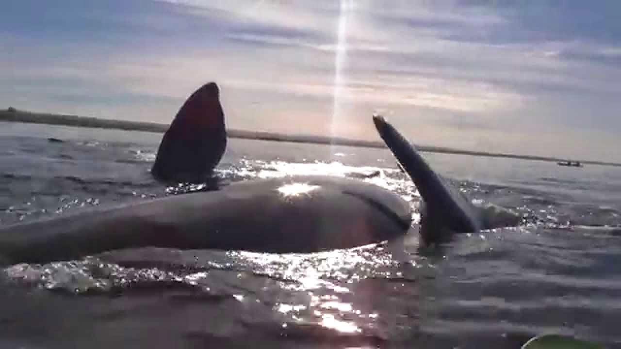 baleia levanta kayak