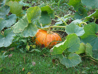 La citrouille d'Halloween du jardin