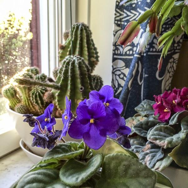 kaktus, saintpaula