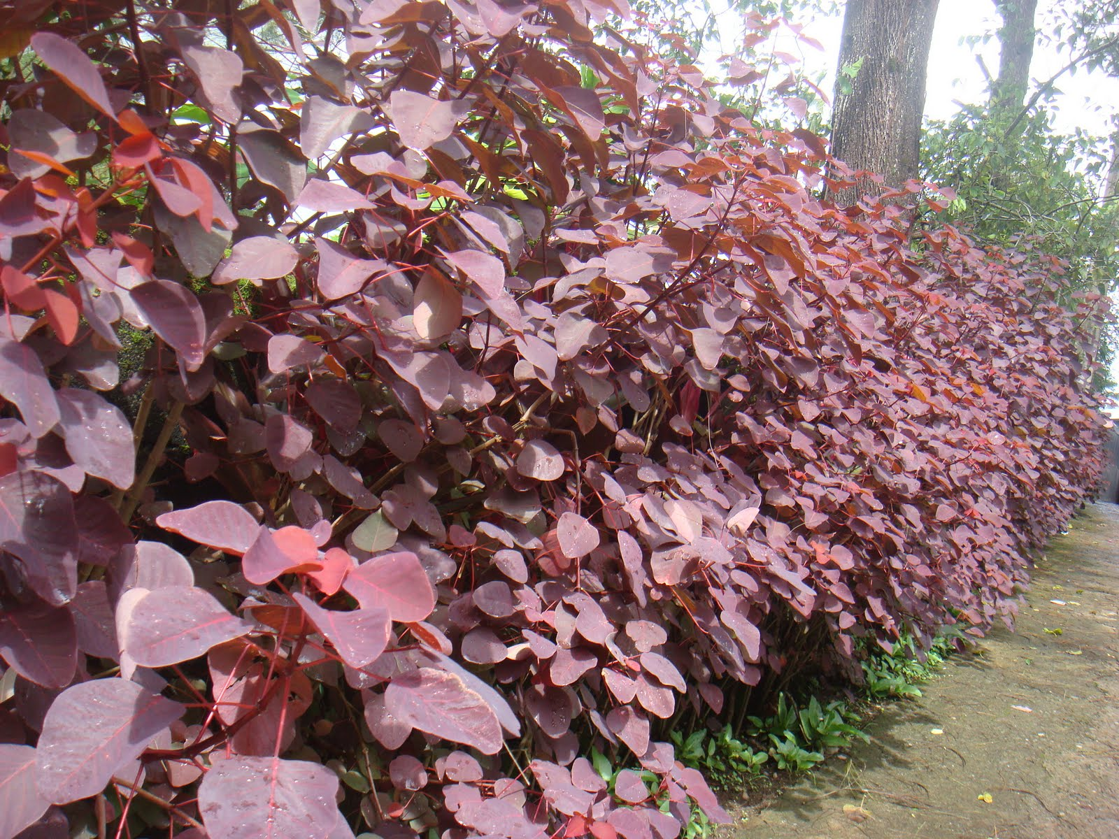 copper plant In plants, copper (cu) acts as essential cofactor of numerous proteins while the  definitive number of these so-called cuproproteins is unknown,.
