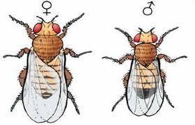 Importância da drosophila melanogaster para a ciência 5