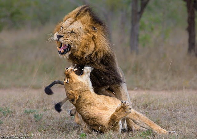 4. Lion Aggression by Wim van den Heever