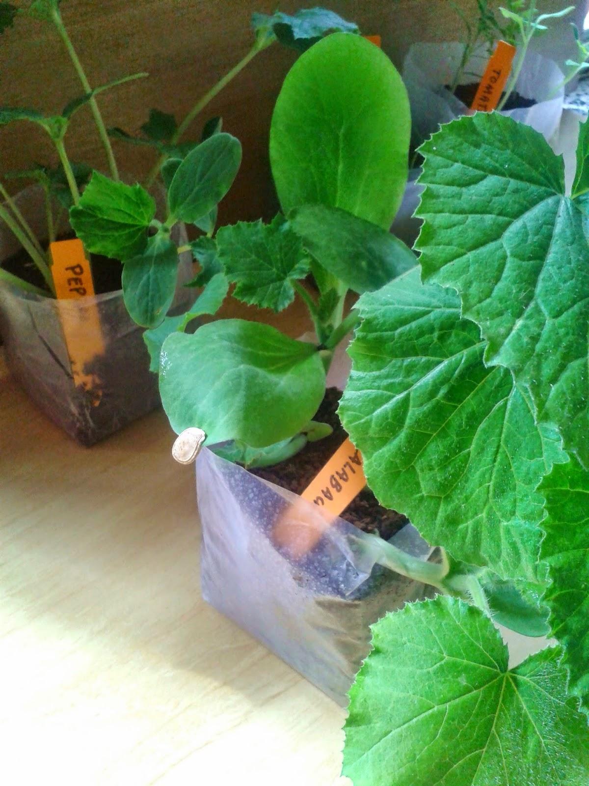 cultivando calabacines