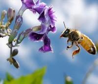 abelha: um dos principais polinizadores, ameaçado