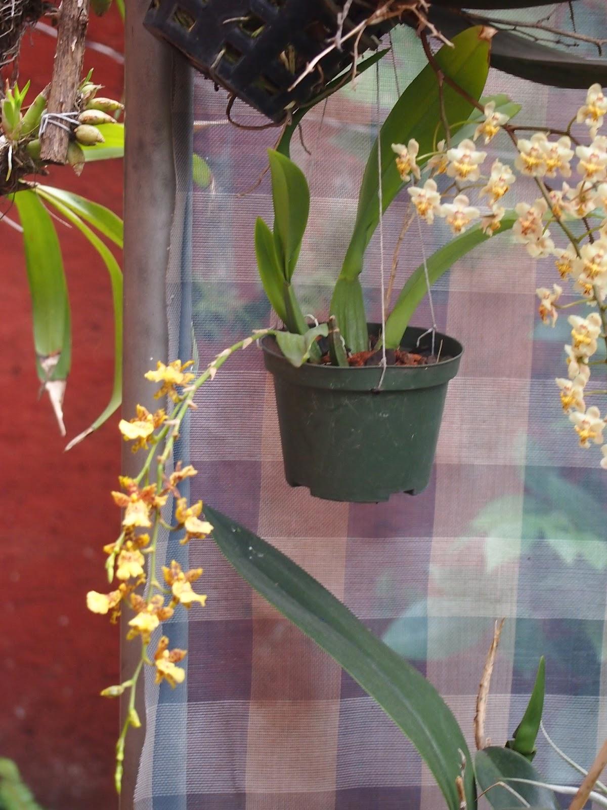 la inflorecencia tiene un patron de desarrollo predominantemente de leochilus, pero el doble de largo. Finalmente la flor parece un leochilus grandote,