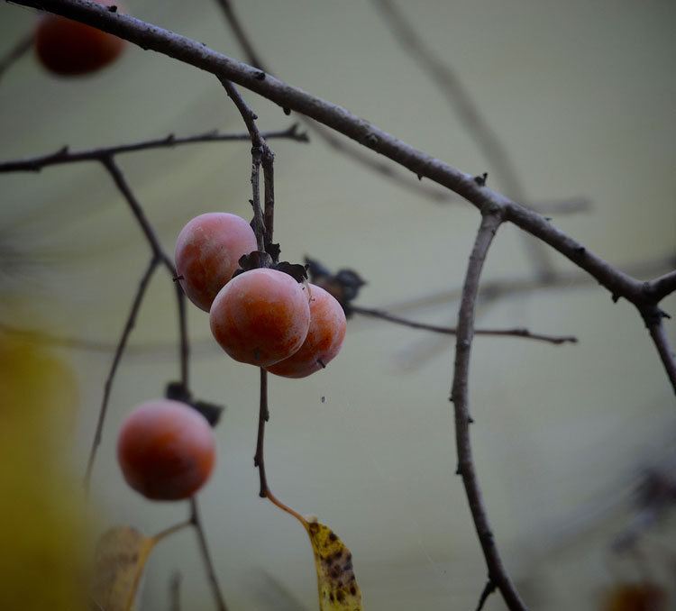 Persimmons are a favorite food source of raccoons, who seem to be able to find the ripe fruit easily.