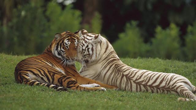 Mooie tijger foto