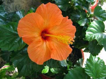 La Botica de Eva: JABÓN DE MALVAVISCO E HIBISCO