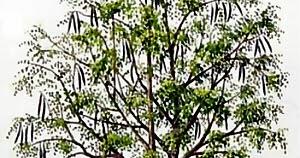 moringa oleifera arvore,moringa oleifera americanas,moringa oleífera anvisa,moringa oleifera a planta,moringa oleifera artrose,moringa oleifera abaixa a glicose,moringa oleifera abelha,moringa oleifera abortifacient,moringa oleifera about,moringa oleifera abre o apetite,moringa oleifera abstract,moringa oleifera é abortiva,moringa oleifera acacia branca,moringa oleifera acne,moringa oleifera academico,moringa oleifera acquisto,moringa oleifera acquisto piante,moringa oleifera active ingredient,moringa oleifera active constituents,moringa oleifera aceite