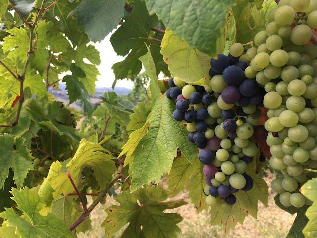 vineyard grapes