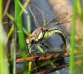 Hairy Dragonfly ovipositing female