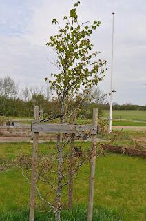 Bøgetræ i min have!