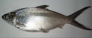 Ikan Bandeng