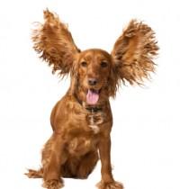Cão da raça Cocker Spainel