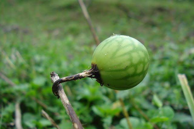 Fruta em Visconde de Mauá, foto de Marcelo Migliaccio