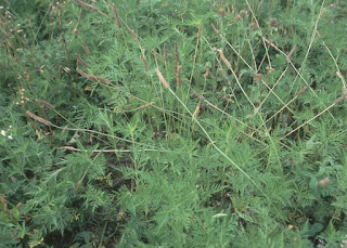 public domain ragweed image