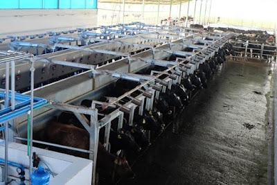 Khu vực vắt sữa bò theo công nghệ tự động