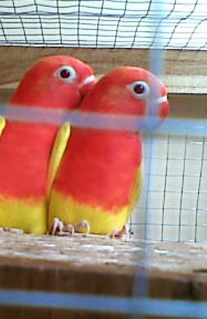 lovebird lutino mata merah