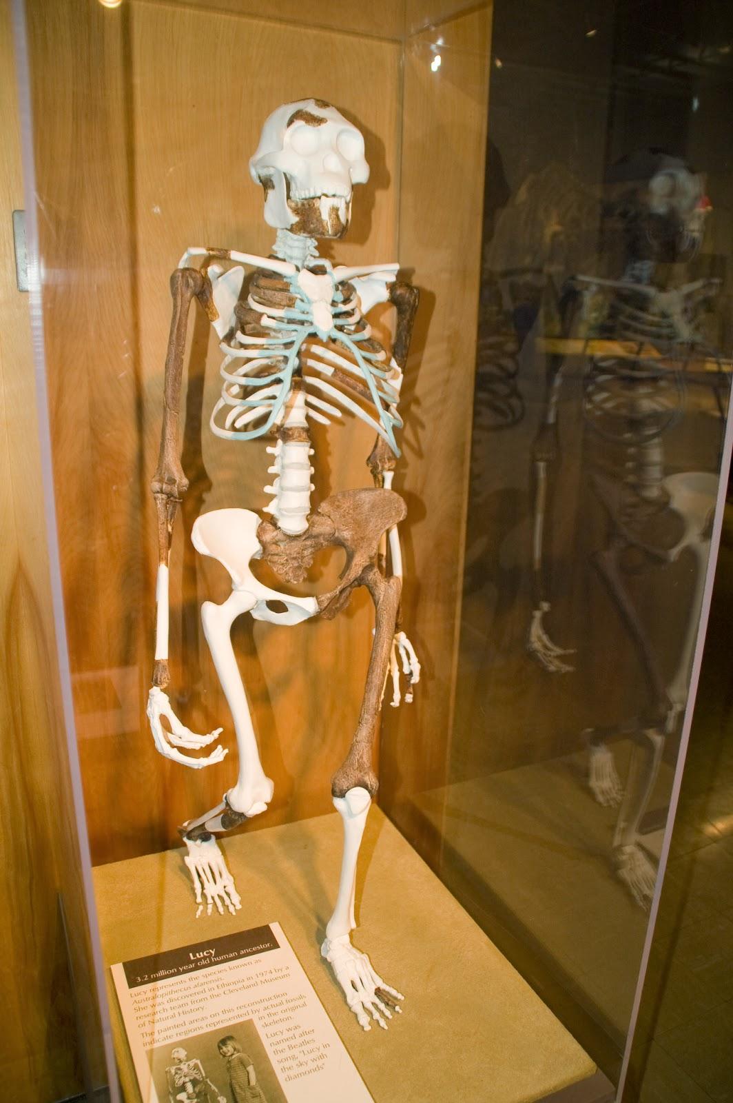 Australopithecus afarensis - Storie di Scienza di Giovanni Boaga