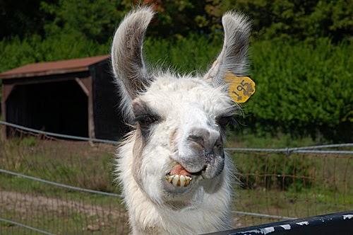 Hilarious Llama Pictures Cute Funny Animalz: Fu...