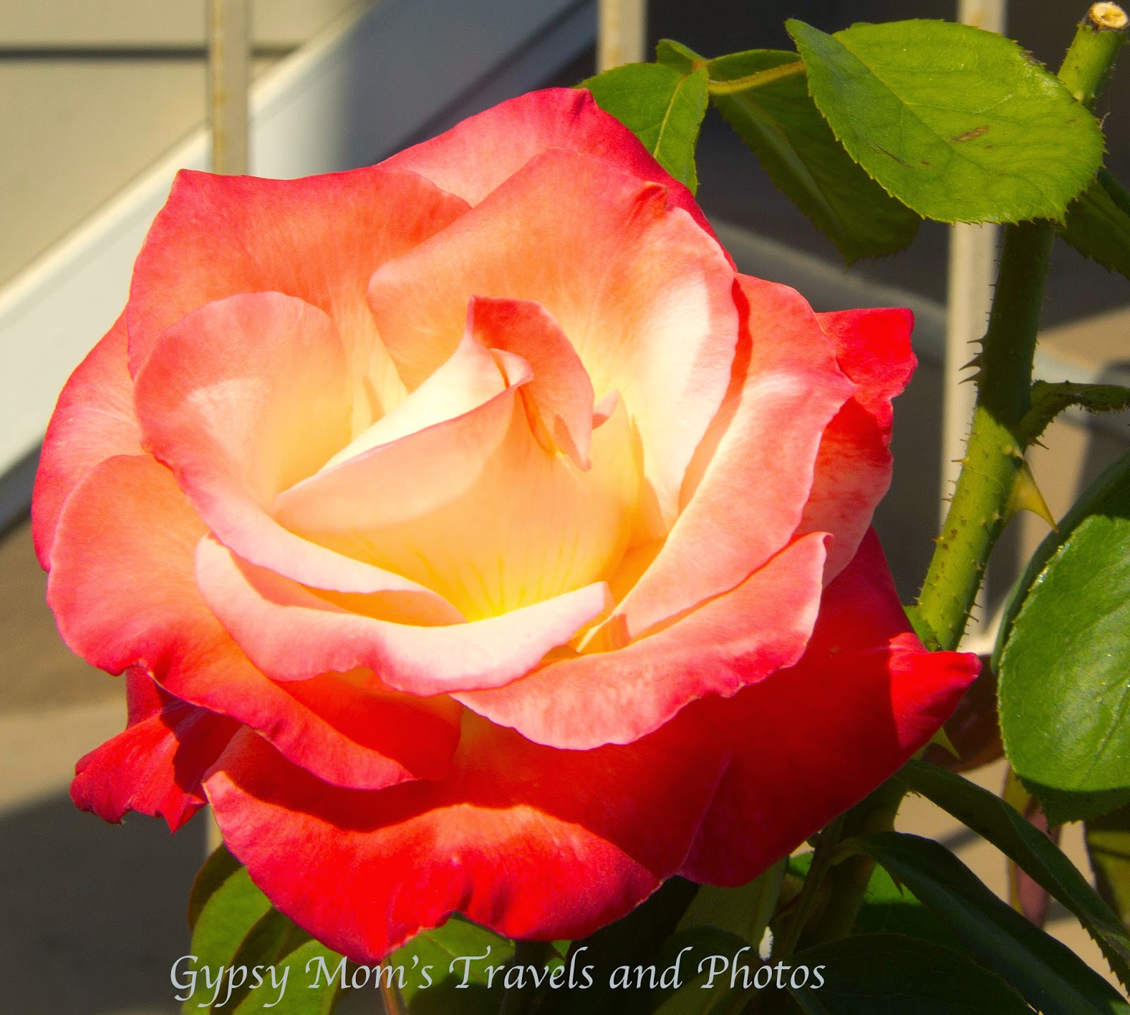 Red Rose with green leaves in front of home on Balboa Island