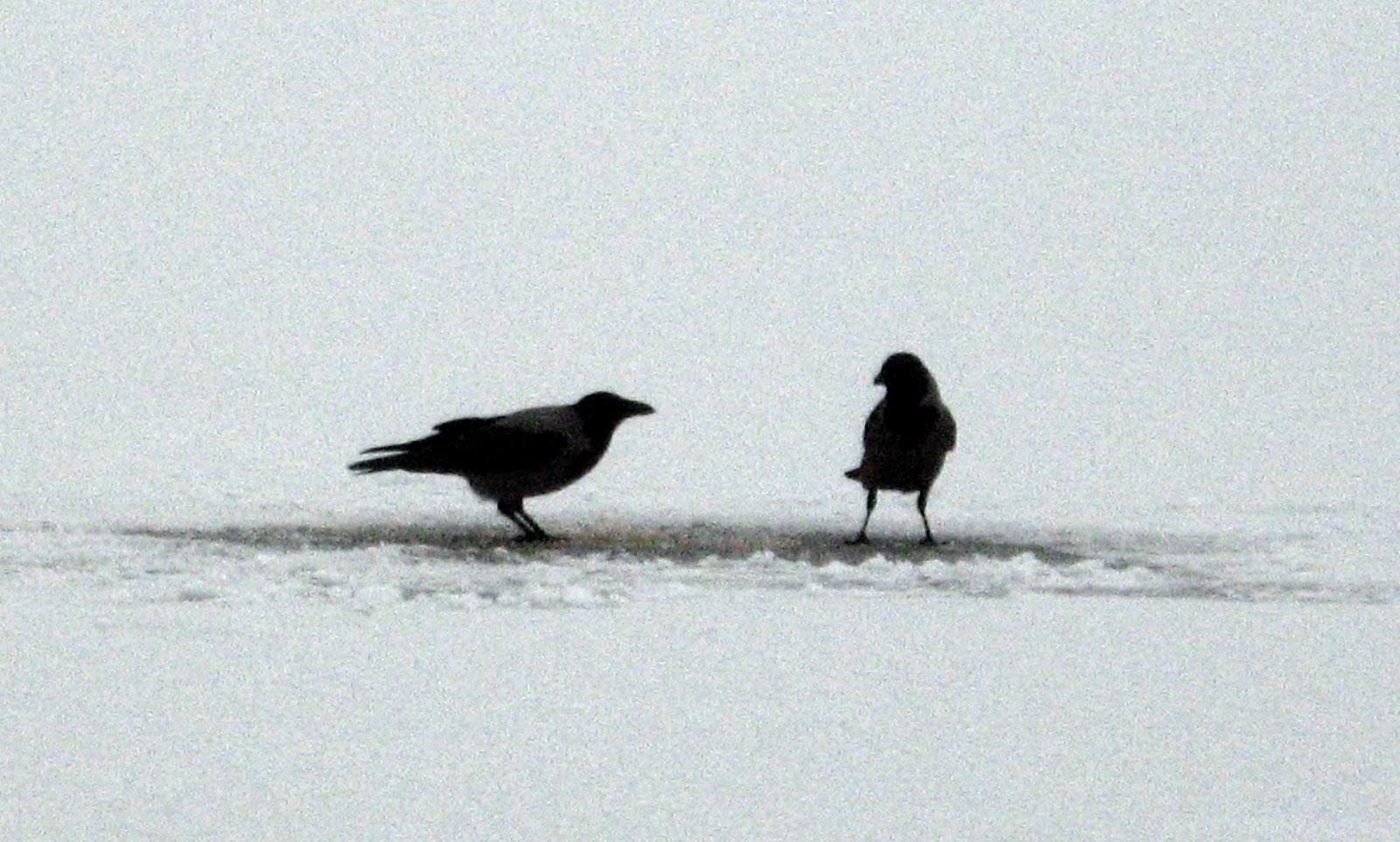 Вороны разбираются с уловом
