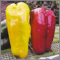 Сладкий перец сорт «Желтый бык»
