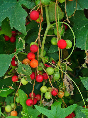 White Bryony (Bryonia Alba) Overview, Health Benefits, Side effects