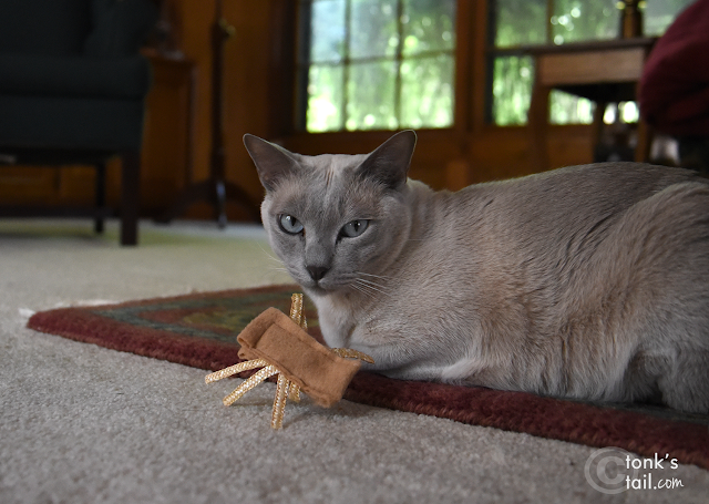 Faraday, about to do a Spider Toy Takedown #tonkinesecats #catphotography